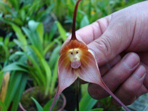 Удивительная орхидея, которая выглядит, как мордочка обезьяны