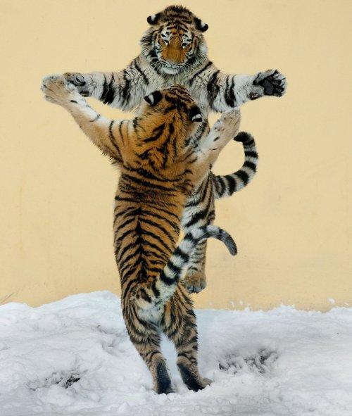 Танцы животных