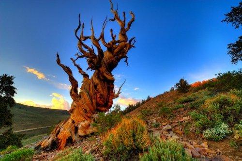 Самые старые деревья на планете (9 фото)