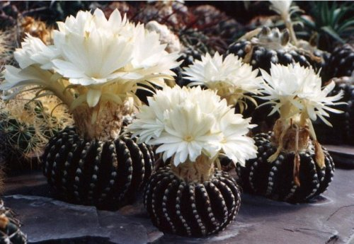 10 Самых уникальных кактусов