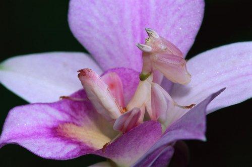 Цветочные наряды орхидейных богомолов (25 фото)