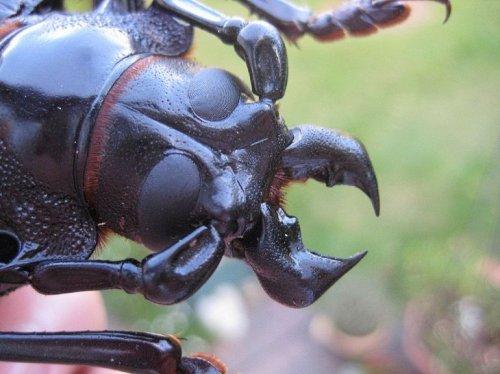 Гигант среди насекомых: дровосек-титан (5 фото + 1 видео)