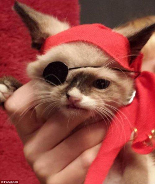 Котёнок-пират Сэр Стаффингтон (6 фото)