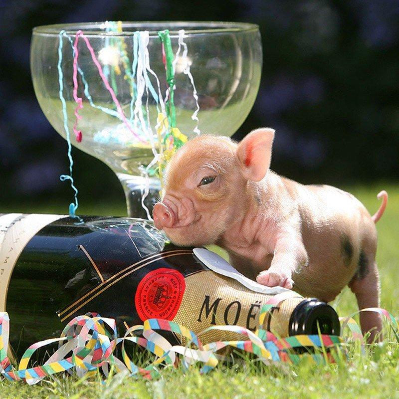 все картинки с прикольными свиньями просто еда