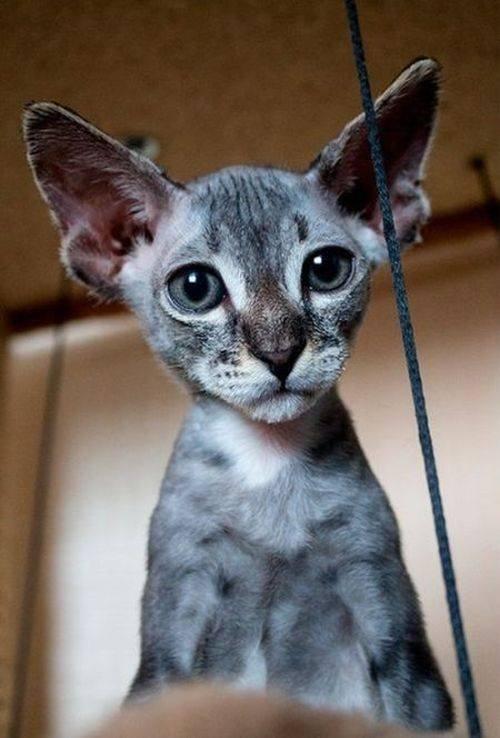 Очень редкая порода бесшёрстных кошек (3 фото)