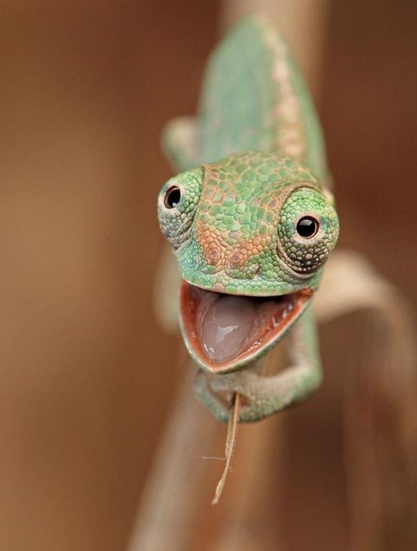 Картинки с хамелеонами смешные, свадьбу игра добрым