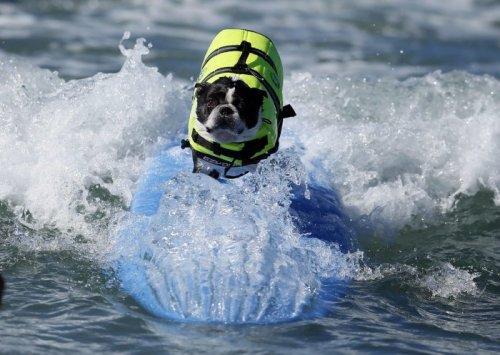 Соревнования среди собак-сёрфингистов (16 фото)