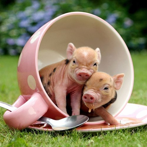 Мини-свинки Ричарда Остина (20 фото)