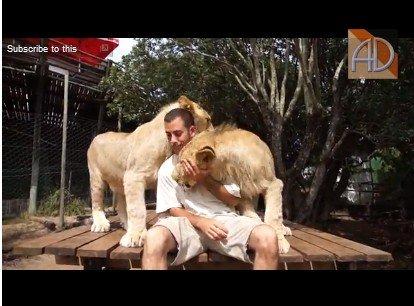 Минутка нежности: львы и человек