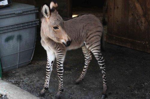 Очаровашка Иппо: папа – зебра, мама – ослица (8 фото + видео)