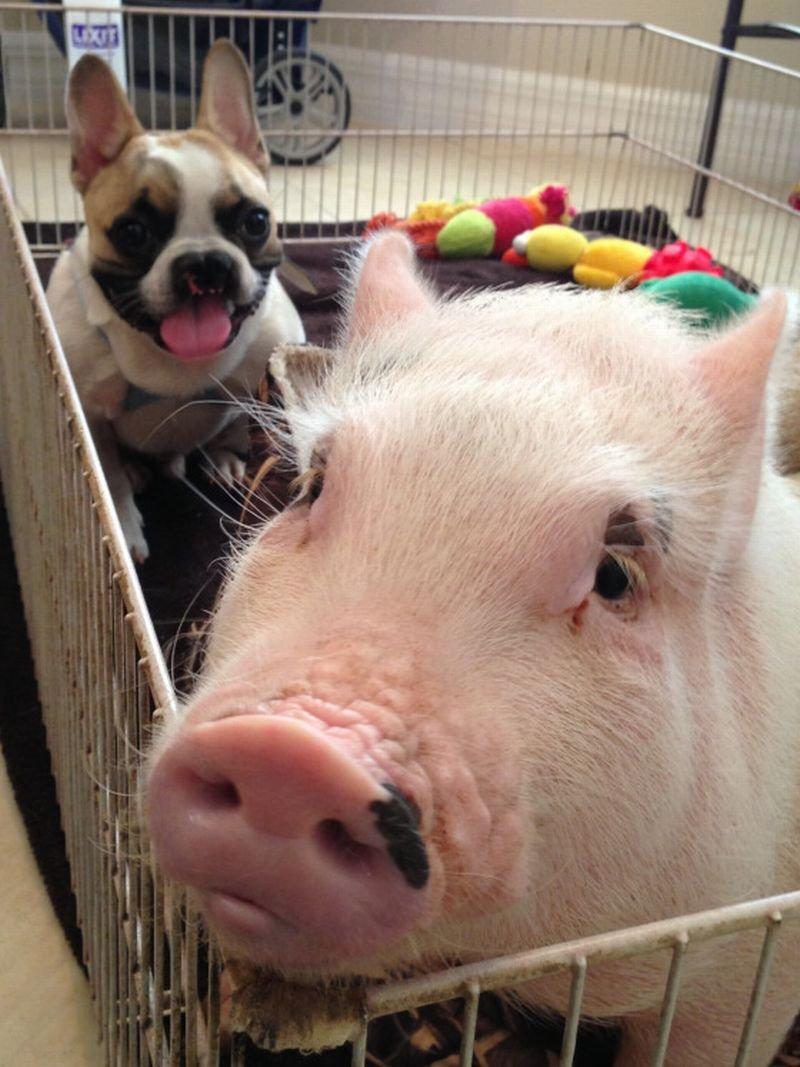 Днем, смешные животные картинки с надписями про свиней