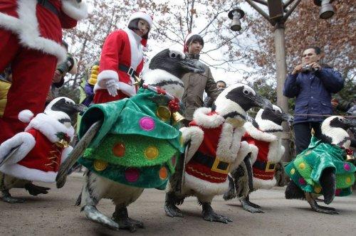 Пингвины на предрождественской прогулке в южнокорейском зоопарке (21 фото + видео)
