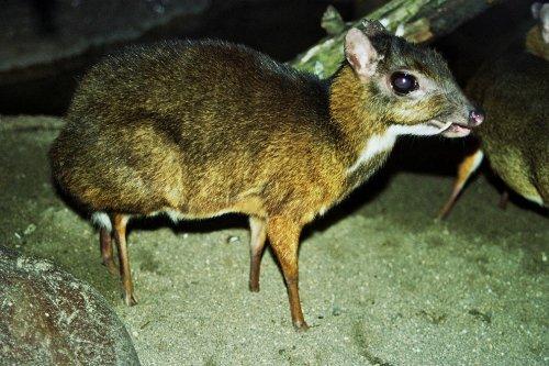 Самое миниатюрное парнокопытное на планете: малый оленёк, или канчиль (12 фото + 2 видео)
