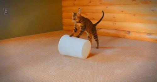 Кошачьи трюки бенгальца по кличке Кайзер