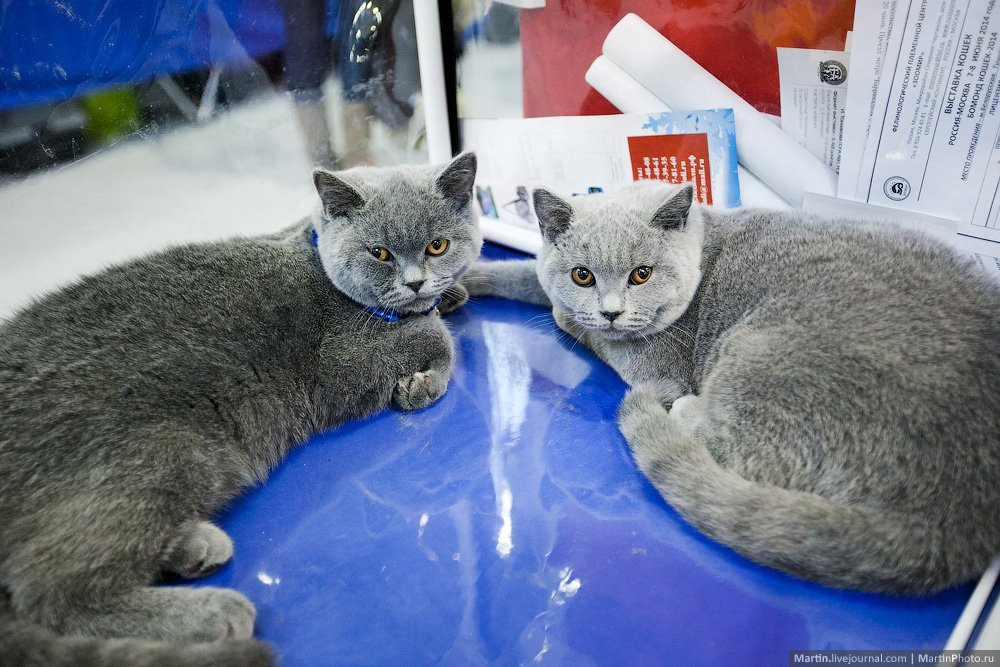 с выставки кошек 2014