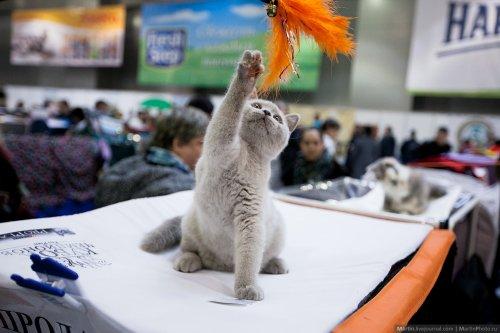 Очаровательные участники Международной выставки кошек Кэтсбург 2014 (29 фото)