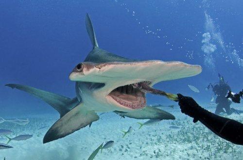 Свободное плавание с молотоголовой акулой (4 фото)