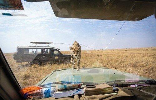 Близкое знакомство с молодым гепардом на сафари (9 фото)