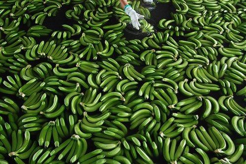 Как это делается: выращивание и сбор бананов (15 фото)