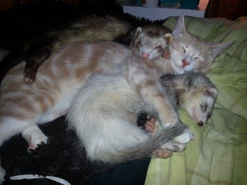 Очаровательная дружба рыжего котёнка и хорьков (29 фото)