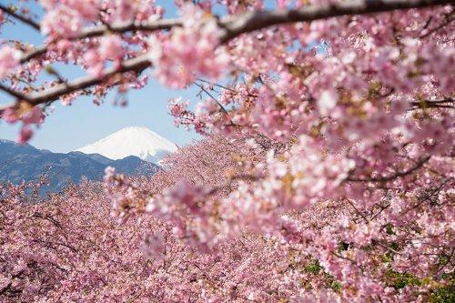 В Японии зацвела сакура (19 фото)