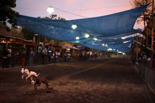Собачьи бега в Сантьяго (15 фото)