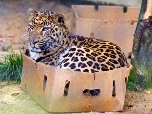 Большие кошки и любовь в коробкам (19 фото)