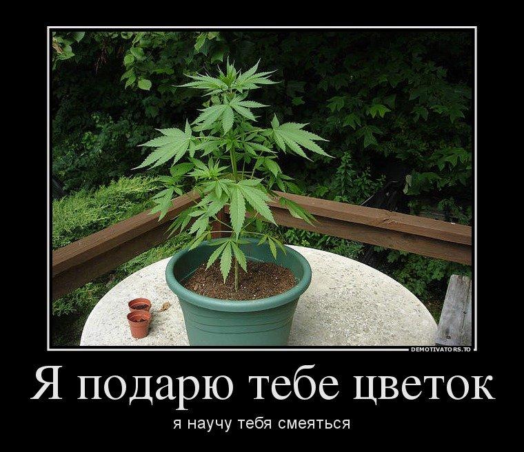Конопля приколы марихуаны по слюне