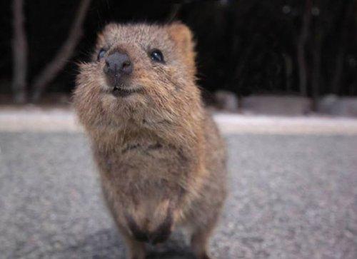 Мини-кенгуру, или очаровательный зверёк квокка (14 фото + видео)