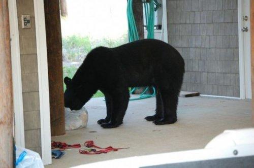 Опасное спасение медведя (16 фото)