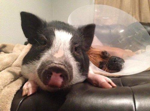 Эта свинья думает, что она собака (6 фото)