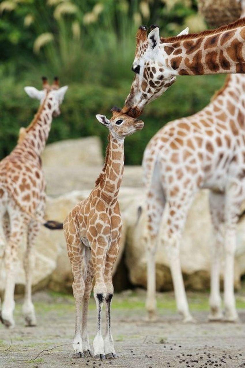 Поцелуи в мире животных (18 фото)