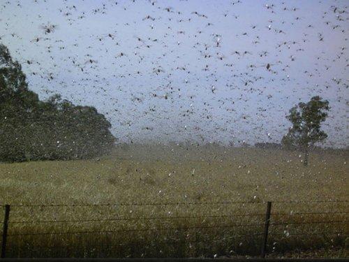 10 Самых невероятных нашествий насекомых