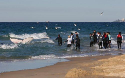 Спасение детёныша горбатого кита, застрявшего на отмели (16 фото)