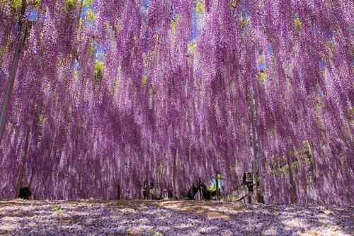 Старейшая и крупнейшая в Японии глициния (11 фото)