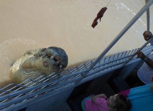 Гигантский крокодил Брут – местная достопримечательность реки Аделаида (8 фото)