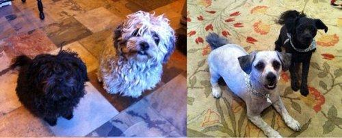 Чудесные собаки до и после стрижки (17 фото)