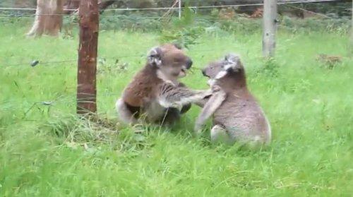 Жестокая драка двух коал