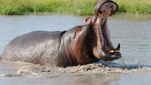 Топ-10 видов животных, которые убивают наибольшее количество людей