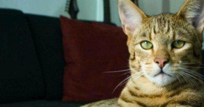 Ашера: самая дорогая порода кошек в мире (4 фото)