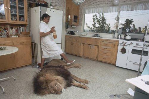 Семья, которая жила с настоящим львом в 1971 году (10 фото + видео)