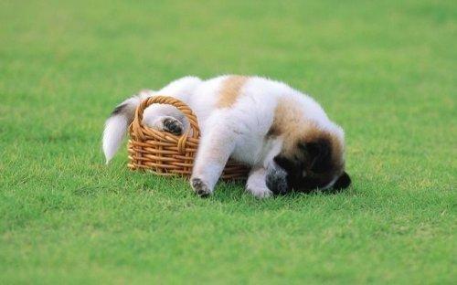 Спящие щенки и собаки 30 фото