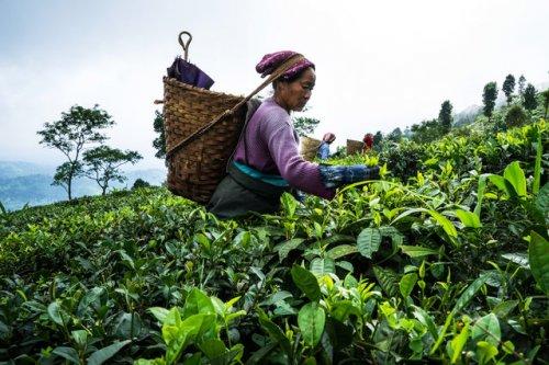 Процесс приготовления самого дорогого индийского чая (17 фото)