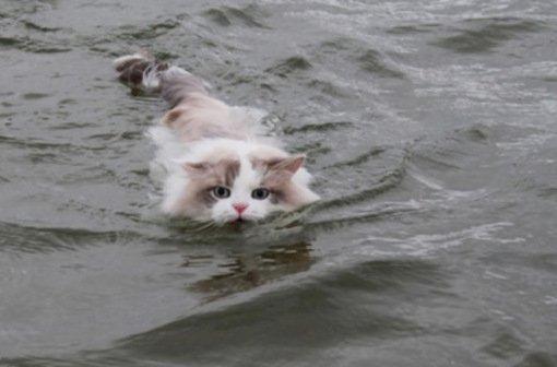 картинки кот плывёт