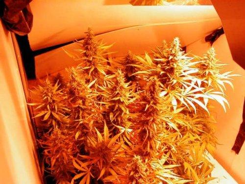 Топ-25 любопытных фактов про марихуану, которые не знает большинство людей