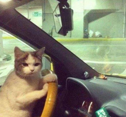 Коты за рулём (10 фото)