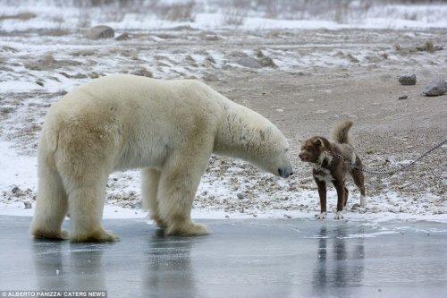 Отважный сторожевой пёс, который не испугался белого медведя (9 фото)