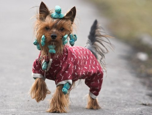 Собаки в бигудях (10 фото)