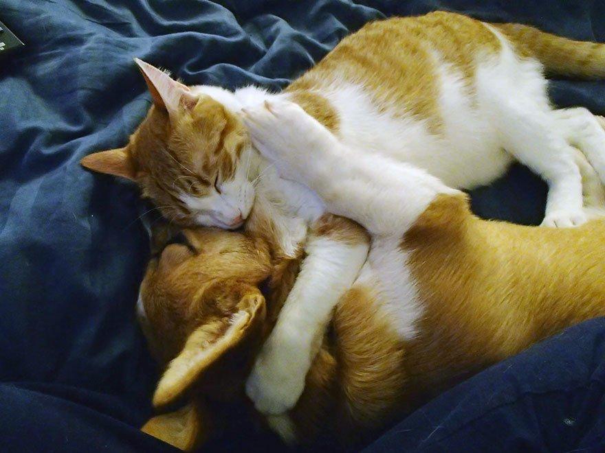 Кот и корги