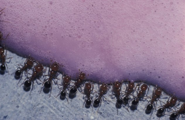Некоторые муравьи кусаются
